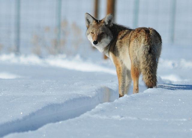 vuk, zima, snijeg