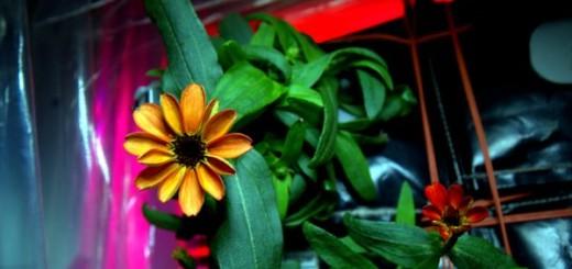 ASTRONAUT SCOTT KELLY: Pogledajte ciniju – prvi cvijet koji smo uzgojili u svemiru