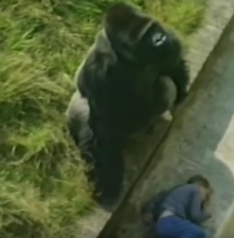 VIDEO: DJEČAK PAO MEĐU MAJMUNE - Pogledajte kako ga je zaštitio gorila Jumbo