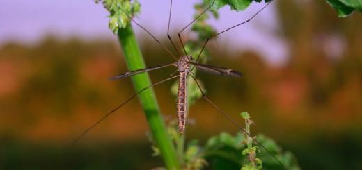 ZNANOST JAČA OD UBOJITOG VIRUSA: Uzgojeno 12 tisuća komaraca – idu u rat protiv pravih