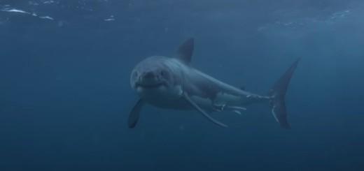 SVE ZBOG GLOBALNOG ZAGRIJAVANJA: Morski psi sve češće napadaju ljude