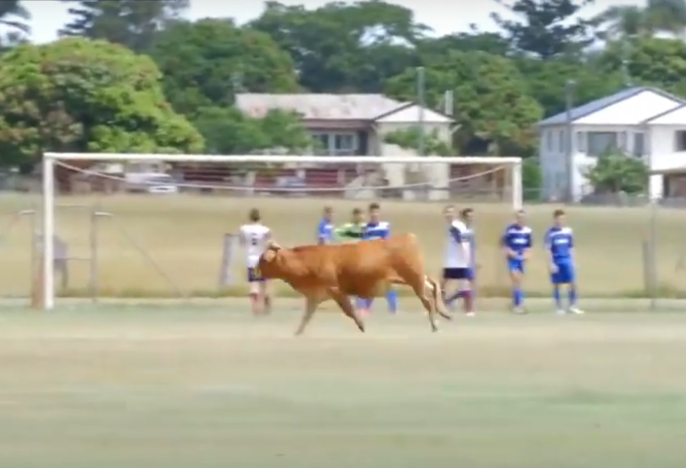 VIDEO: NEOBIČAN IGRAČ - Pogledajte kako se jedna kravica (s)našla na igralištu