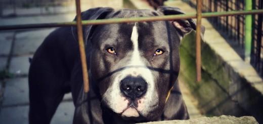 STRAŠNA SMRT: Pit bull terijer zaklao dijete - vlasniku osam godina zatvora