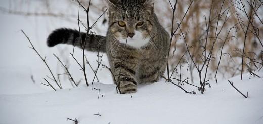 snijeg, mačka