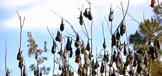 """VIDEO: KAO U HORORU - Sto tisuća šišmiša """"letećih lisica"""" okupiralo ljetovalište!"""