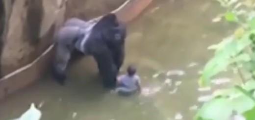 gorila, dječak, zoo