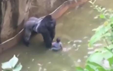 VIDEO: DJEČAK U KAVEZU S GORILOM - Nakon pada trogodišnjaka u zoo vrtu djelatnici usmrtili majmuna