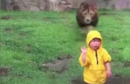"""VIDEO: NE DIRAJ LAVA - Dječak je bezbrižno gledao veliku """"macu"""", a onda se lav sjurio"""