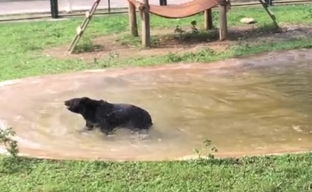 VIDEO: MUČEN DEVET GODINA - Medvjedu uzimali žuč - sada je spašen, konačno vidio vodu