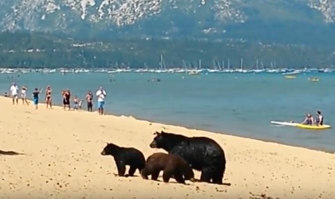 VIDEO: NEVJEROJATNO - Na prepunu plažu mama medvjedica dovela na kupanje mladunce