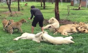 tigar, leopard, zoo vrt, Meksiko