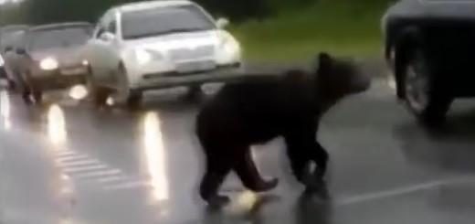 medvjed, divljač, cesta