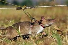 Golemi tanzanijski štakor najbolji je otkrivač mina njušenjem ali može i u 40 sekundi prepoznati iz sline da li osoba boluje od TBC-a. Postoji nada da će ga se moći uvježbati da prepozna na isti način i karcinome.