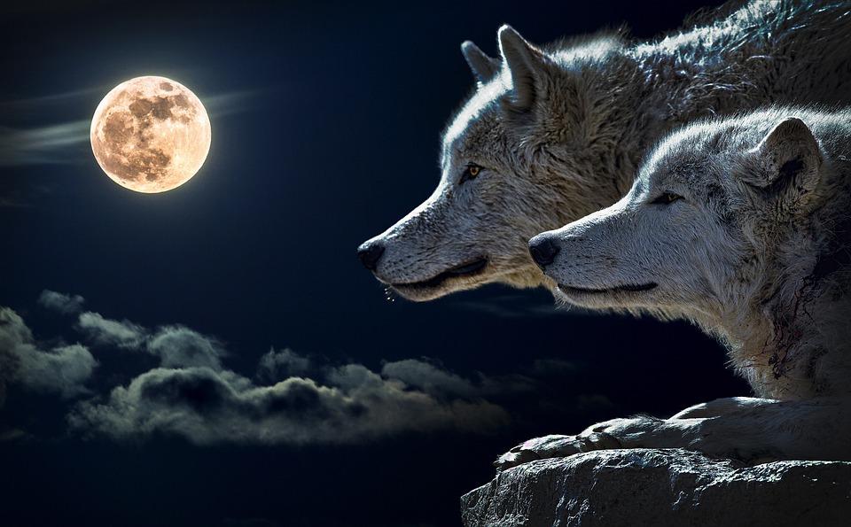 vuk, vučica, vukovi