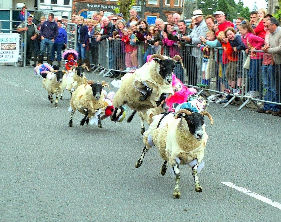 ovce, utrka