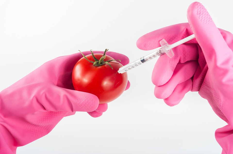 rajčica, gmo