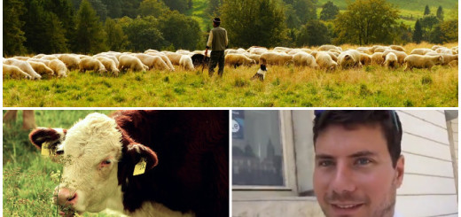 pernar, ovce, krava, vegetarijanac