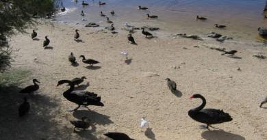 crni labudovi
